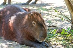 Giant rodents in the Uruguayan national park called capibara royalty free stock image