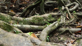 Giant Roots of fig tree stock video