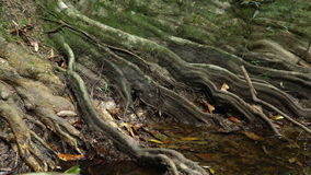 Giant Roots of fig tree stock video footage