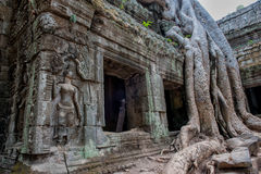 Giant roots at Ta Prohm Stock Photography