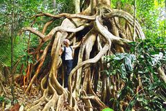 Giant roots tropical tree. Stock Photos