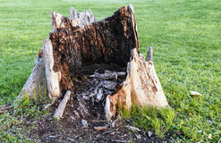 Giant Rotten Tree Stump. Ugly rotten stump in the middle of a manicured lawn Stock Image