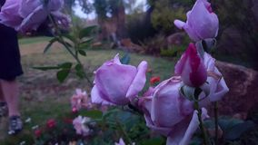 Giant& x27; s Rose Garden imagen de archivo libre de regalías
