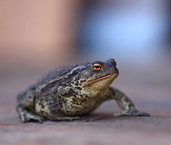 Giant sad black frog toad Stock Images