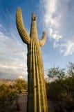 Giant Saguaro. Big cactus about dusk, Tucson, AZ. Canon 5d/14mm Stock Photo
