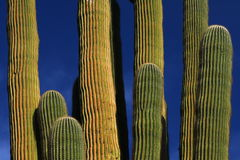Giant Saguaro Cactus. A Giant Saguaro Cactus framed against a deep blue sky in the Sonoran Desert near Tucson, Arizona royalty free stock image