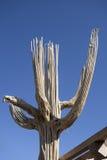 Giant Saguaro Cactus skeleton Royalty Free Stock Photo