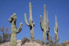 Giant Saguaro Cactus Royalty Free Stock Photography