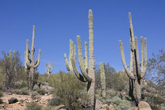 Giant Saguaro Cactus Royalty Free Stock Photo