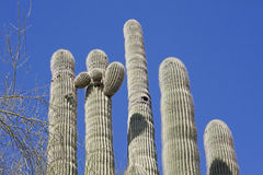 Giant Saguaro Cactus Stock Photos