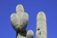 Giant Saguaro Cactus Stock Photo