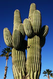 Giant Saguaro & Palm Trees Royalty Free Stock Image