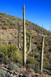 Giant Saguaro in Saguaro National Park Stock Photo