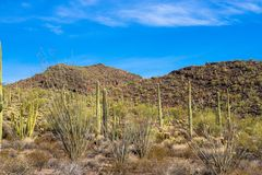 Giant Saguaros, Organ Pipes, and flowering Ocotillo cacti inside Organ Pipe Cactus National Monument Royalty Free Stock Photography