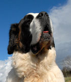 Giant Saint bernard. Portrait of purebred mastiff saint bernard: beautiful giant dog Stock Photos