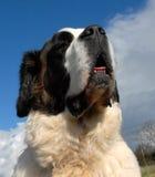 Giant Saint bernard Stock Photos