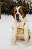 A St. Bernard Dog with a Barrel Royalty Free Stock Photography