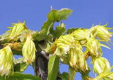 Giant San Pedro cactus flowers in blue sky royalty free stock image