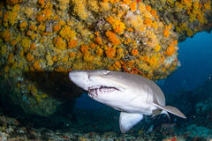 Giant sandtiger Royalty Free Stock Photography