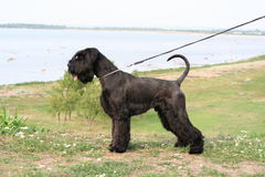 Giant Schnauzer Royalty Free Stock Image