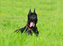 Giant schnauzer Royalty Free Stock Photography