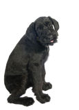 Giant Schnauzer Stock Photography