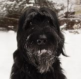 Giant schnauzer. Big black dog on snow. royalty free stock photography