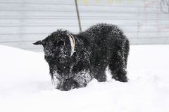 Giant Schnauzer bury a toy in the snow royalty free stock photo