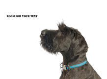 Giant Schnauzer Royalty Free Stock Images