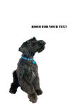 Giant Schnauzer Royalty Free Stock Photo