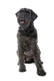 Giant Schnauzer dog Stock Image