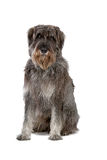 Giant schnauzer dog Stock Photos