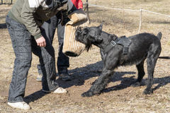 Giant schnauzer. Dog attacks and bites during the dog training obedient course stock photography