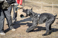 Giant schnauzer dog. Attacks and bites during the dog training obedient course stock photo