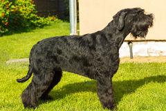 Giant Schnauzer dog. Royalty Free Stock Images