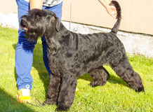 Giant Schnauzer dog. Black Giant Schnauzer standing in front Royalty Free Stock Photo