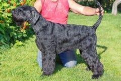 Giant Schnauzer dog. Royalty Free Stock Image