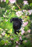 Giant schnauzer dog. Giant schnauzer close up portrai on spring blossom royalty free stock photos