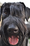 Giant Schnauzer Dog Looking at Camera Royalty Free Stock Images