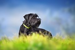 Giant schnauzer dog. Portrait against dramatic blue sky royalty free stock photo