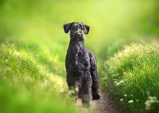 Giant schnauzer dog. Standing on green park stock photography