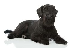 Giant schnauzer dog Stock Photo