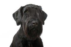 Giant schnauzer dog Stock Images