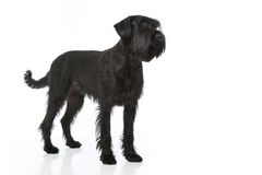 Giant schnauzer dog Royalty Free Stock Image