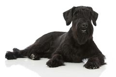 Giant schnauzer dog Royalty Free Stock Photography