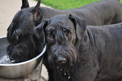 Giant Schnauzer Dogs Getting a Drink Outside. Two black Giant Schnauzers getting cold drink of water on a warm day of playing outside Stock Images