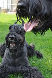 Giant Schnauzer Dogs Stock Image