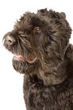 Giant schnauzer head Stock Image