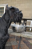 Giant Schnauzer Just Got a Drink Royalty Free Stock Image