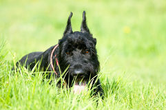 Giant schnauzer lay on the grass. Portrait in summer Stock Images